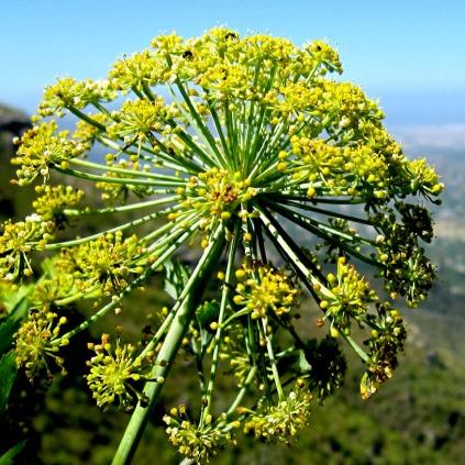 galbanum plante