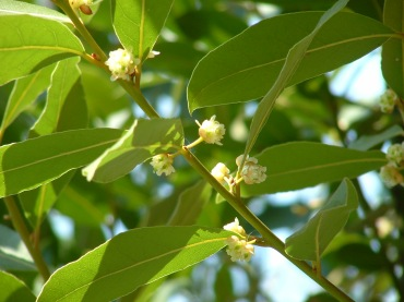 laurel tree
