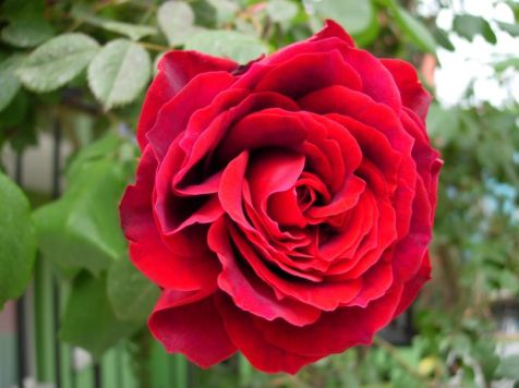 turkish rose 1