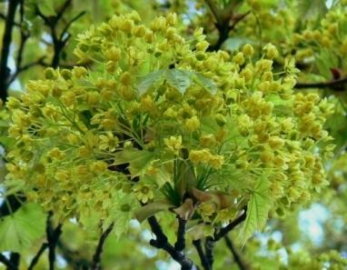 kwiat lipy