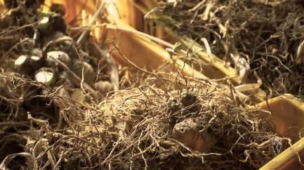 orris roots