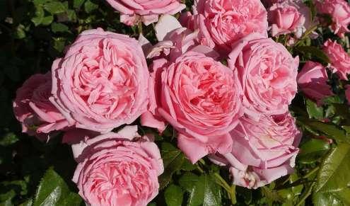 rose_pink_grasse_provence
