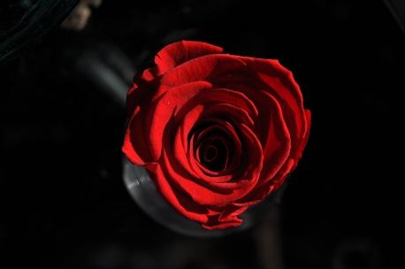 Scarlet_rose