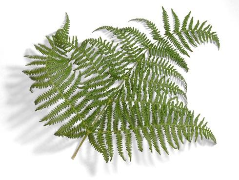 Fern-leaf-oliv