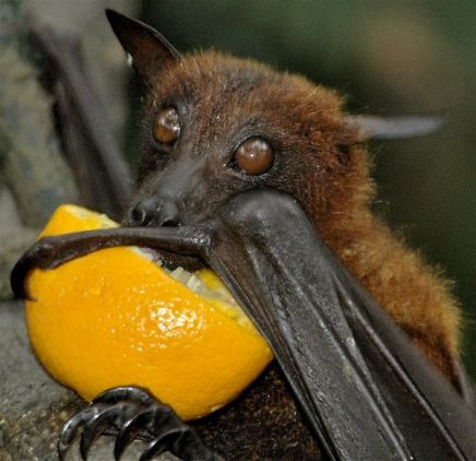Fruit_Bat_Drinking_Orange_Juice_600