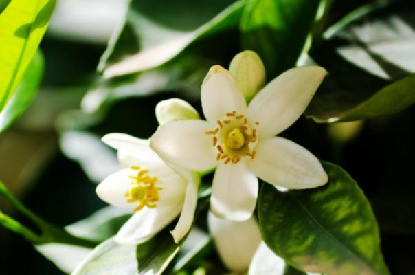 fleur-oranger-blanche-full-12313360